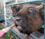 29 сентября. В Приокско-Террасном заповеднике усыновили зубренка