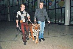 Братья Запашные прогулялись с тигром по городу