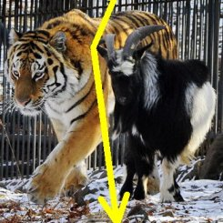 Тигр Амур и козел Тимур — не друзья